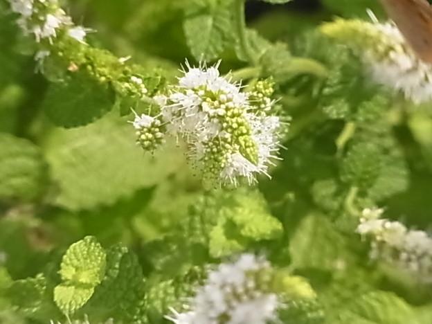 0806 スペアミント 花 シソ科 ハッカ属 105