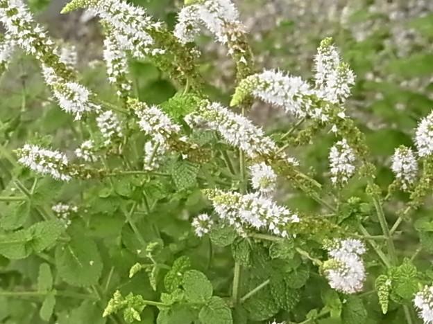 0806 スペアミント 花 シソ科 ハッカ属 126
