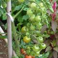 0806 トマト ミニトマト ナス科 4