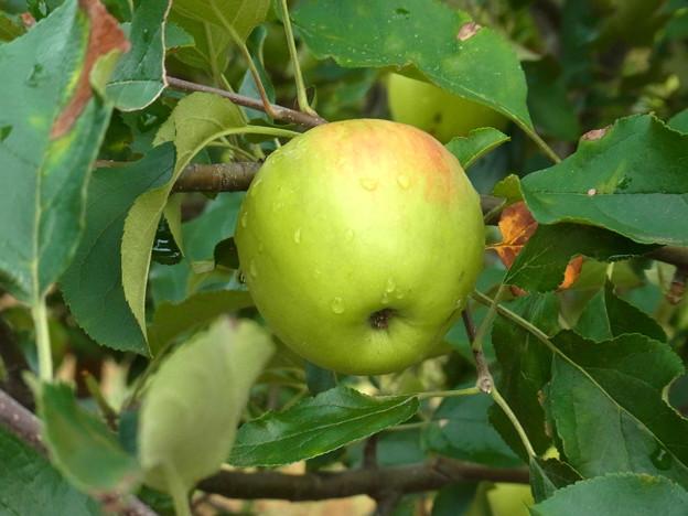 0806 リンゴ 実 バラ科 リンゴ属 11