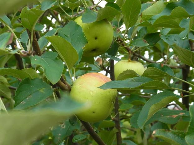 0806 リンゴ 実 バラ科 リンゴ属 2