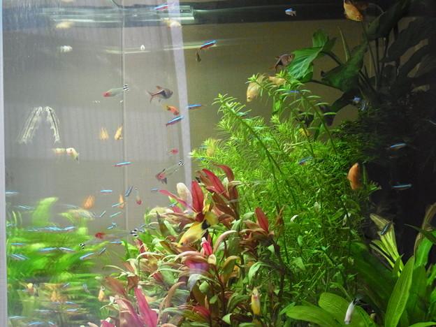 0806 熱帯魚 水槽 418