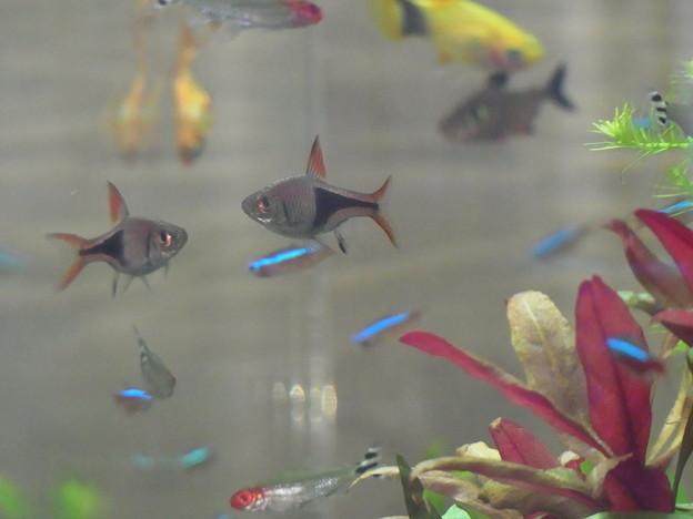 0806 熱帯魚 水槽 420