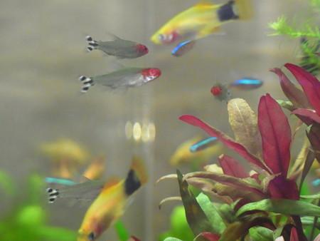 0806 熱帯魚 水槽 0423