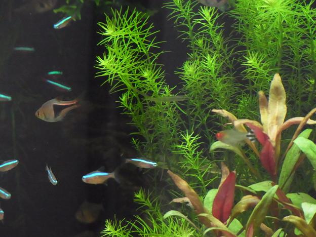 0806 熱帯魚 水槽 425