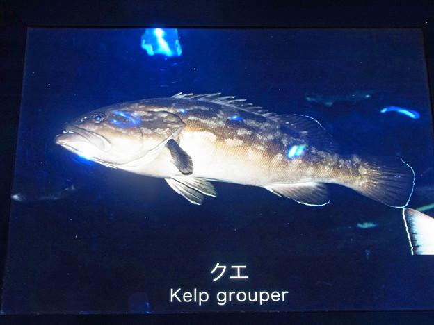 0813 スズキ目 ハタ科 クエ  名札 514