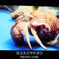 Photos: 0813 ヤドカリ ヨコスジヤドカリ 名札 12