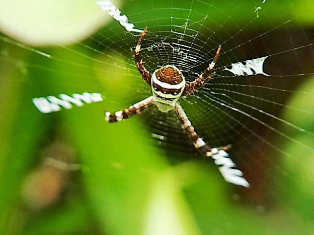 クモ ジョロウグモ ジョロウグモ科 ジョロウグモ属 0602 493