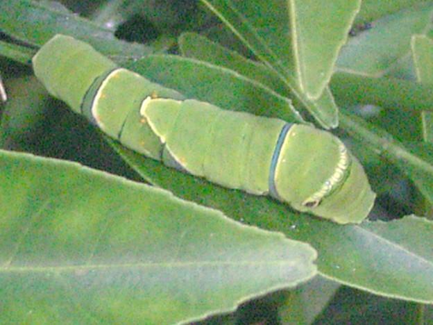0815 チョウ 幼虫 093