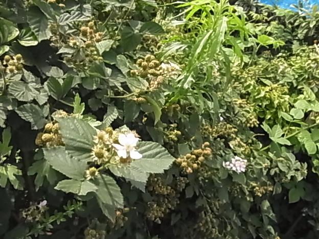 ブラックベリー バラ科 キイチゴ属 0613 146