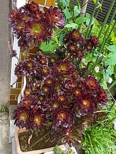 アエオニウム 多肉植物 ベンケイソウ科 黒法師 0618 508