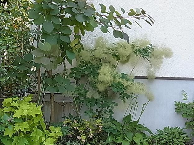 ケムリノキ スモークツリー ハグマノキ ウルシ科 0618 672