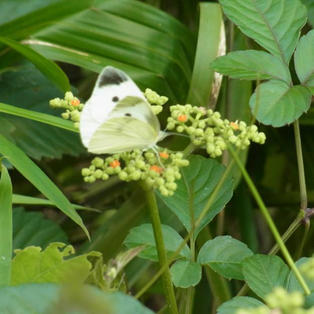 ヤブガラシ 花 ブドウ科 ヤブガラシ属 モンシロチョウ チョウ 0622 773