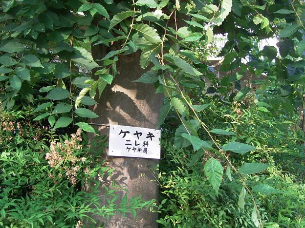ケヤキ ニレ科 ケヤキ属 0629 072