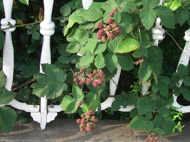 ブラックベリー バラ科 キイチゴ属 0629 047