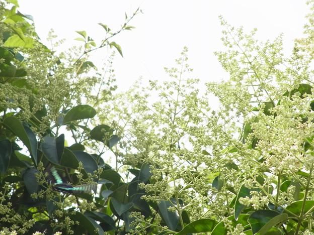 トウネズミモチ モクセイ科 イボタノキ属 アオスジアゲハ チョウ 0703 054
