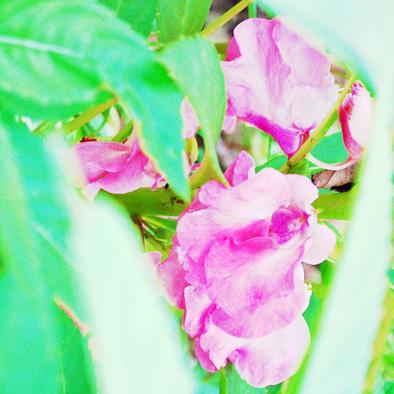 ホウセンカ 花 ツリフネソウ科 ツリフネソウ属 0707 036