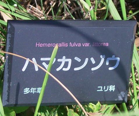 ハマカンゾウ ユリ科 ワスレグサ属 名札 0720 038