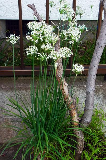 0905 ニラ 花 ネギ科 ユリ科 559