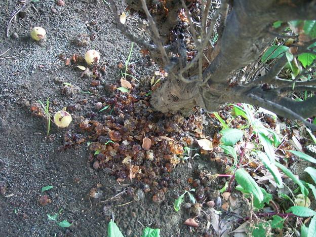 ハナモモ 実 樹液 バラ科 0909 017