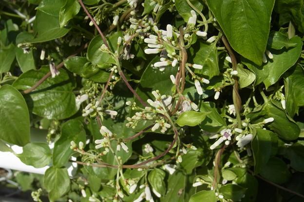 0910 ヘクソカズラ サオトメバナ 花 アカネ科 ヘクソカズラ属 508 467