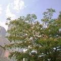 写真: ネムノキ マメ科 0918 034