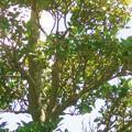 写真: モッコク モッコク科 0918 019