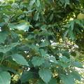 0922 カクレミノ ウコギ科 クリ 実 ブナ科 クリ属 002