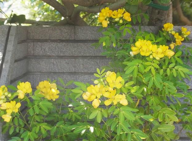 0922 コバノセンナ マメ科 センナ属 051