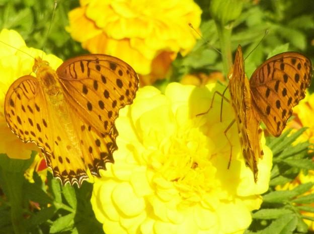 0922 マリーゴールド チョウ ツマグロヒョウモン 雄 017