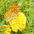0922 マリーゴールド チョウ ツマグロヒョウモン 雄 024