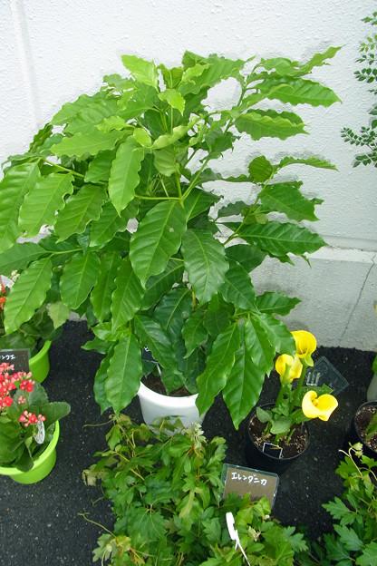 0918 カランコエ エレンダニカ ブドウ科 コーヒーノキ アカネ科 カラー 観葉植物 名札 425