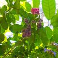 写真: 0912 アオイ科 ピンポンノキ ベンガルヤハズカズラ キツネノマゴ科 462