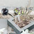 Photos: 0912 アエオニウム 多肉植物 ベンケイソウ科 黒法師 543