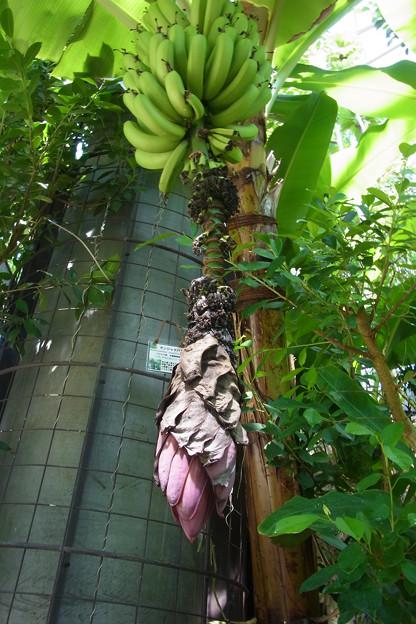 0912 バナナ 花 実 バショウ科 61