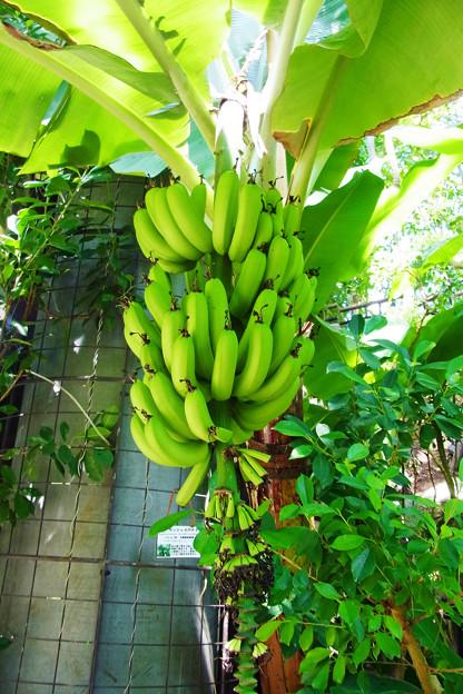 0912 バナナ 実 バショウ科 62