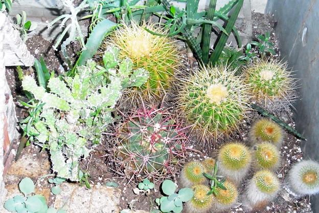 0912 多肉植物 サボテン 537