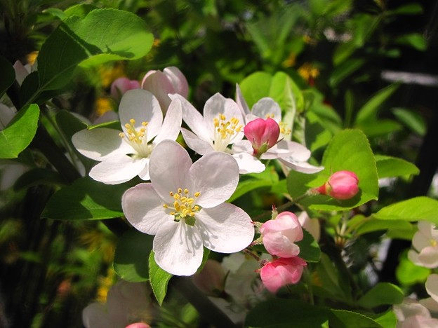 「林檎の花」 です・・・・