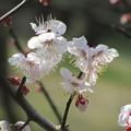 「杏の花」 です・・・・