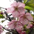 「雨に濡れた・・河津桜・・」 です・・・