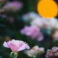 Photos: 黄色い月