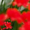 Photos: 赤いツツジ達