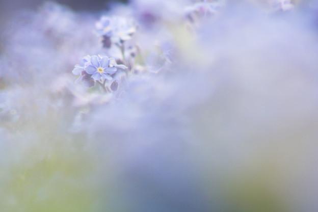ワスレナの花