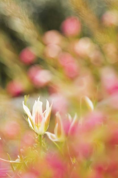 初春のチューリップ