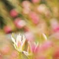 写真: 初春のチューリップ