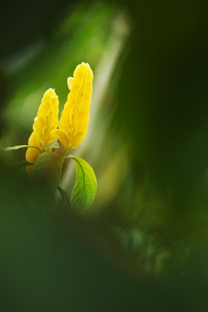 写真: 黄色い双子