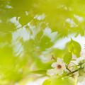 写真: 緑の中の桜
