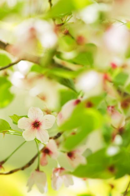 春過ぎた桜