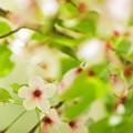 写真: 春過ぎた桜