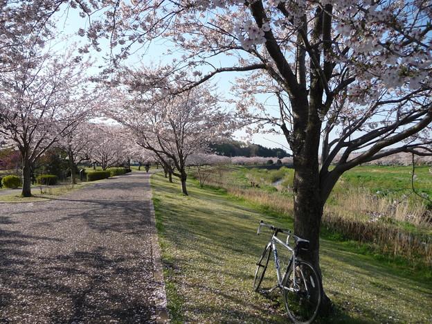 引地川親水公園の桜とレモン5